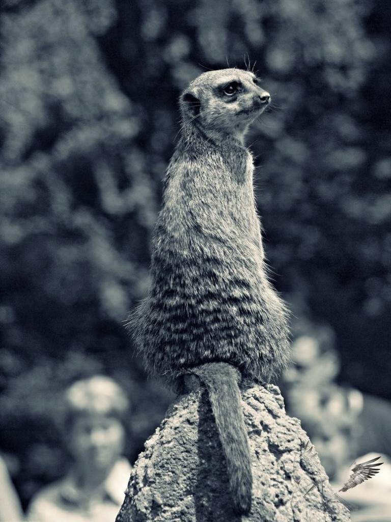 meerkat_watcher_by_motherblessing-d542t4a (1)