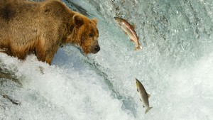 nws-st-alaska-salmon-run-grizzly-2